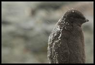 Adelie Penguin chick in the snow