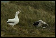 Black-browed Albatross displaying