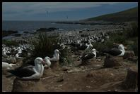A section of the world´s largest Black-browed Albatross colony (157,000 birds)