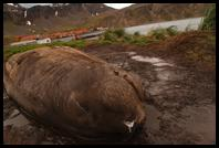 Elephant Seal in front of Ernest Shackleton´s grave at Grytviken