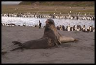 Elephant Seals fighting near our zodiac landing site