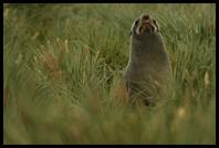 A Fur Seal waiting in the tussock, ready to chase humans out of its territory