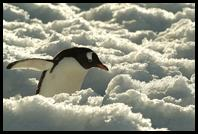 Gentoo Penguin in the snow