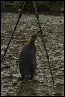 A King Penguin chick checking out my tripod