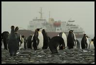 King Penguins with the Polar Star on anchor
