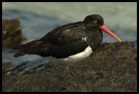 Magellanic Oystercatcher on shore
