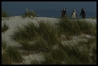 Magellanic Penguins returning to their burrows