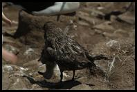 Skua with a Black-browed Albatross Chick