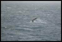 Whale off the starboard bow of the Polar Star