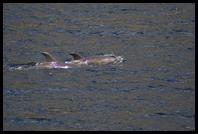 Bottlenose Dolphins in Doubtful Sound