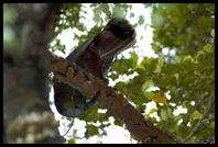 Kaka stripping bark off a tree