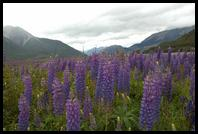 Lupins in the Arthur´s Pass area