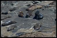 Seals on the rocks at the end of Doubtful Sound