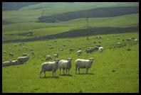 Sheep near Slope Point