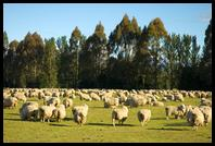 Sheep near Lake Manapouri