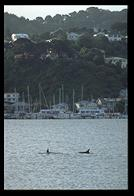 Dolphins in Evans Bay